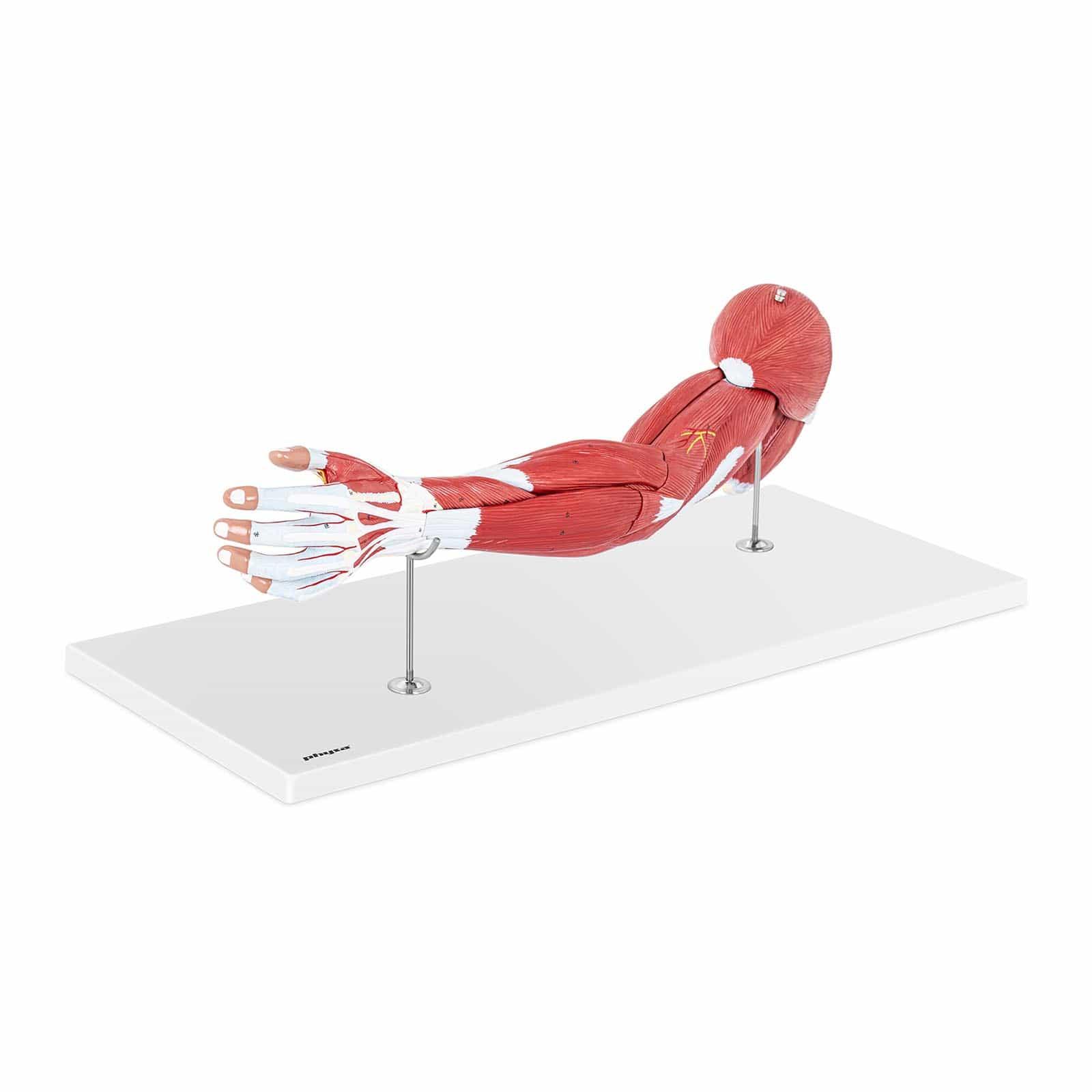 Ramię - model anatomiczny