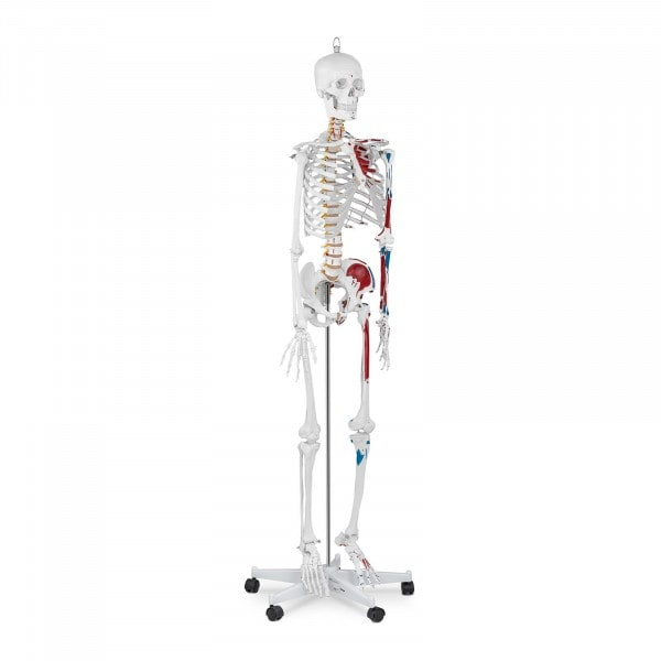 Skeleton Model PHY-SK-2 - Life-sized