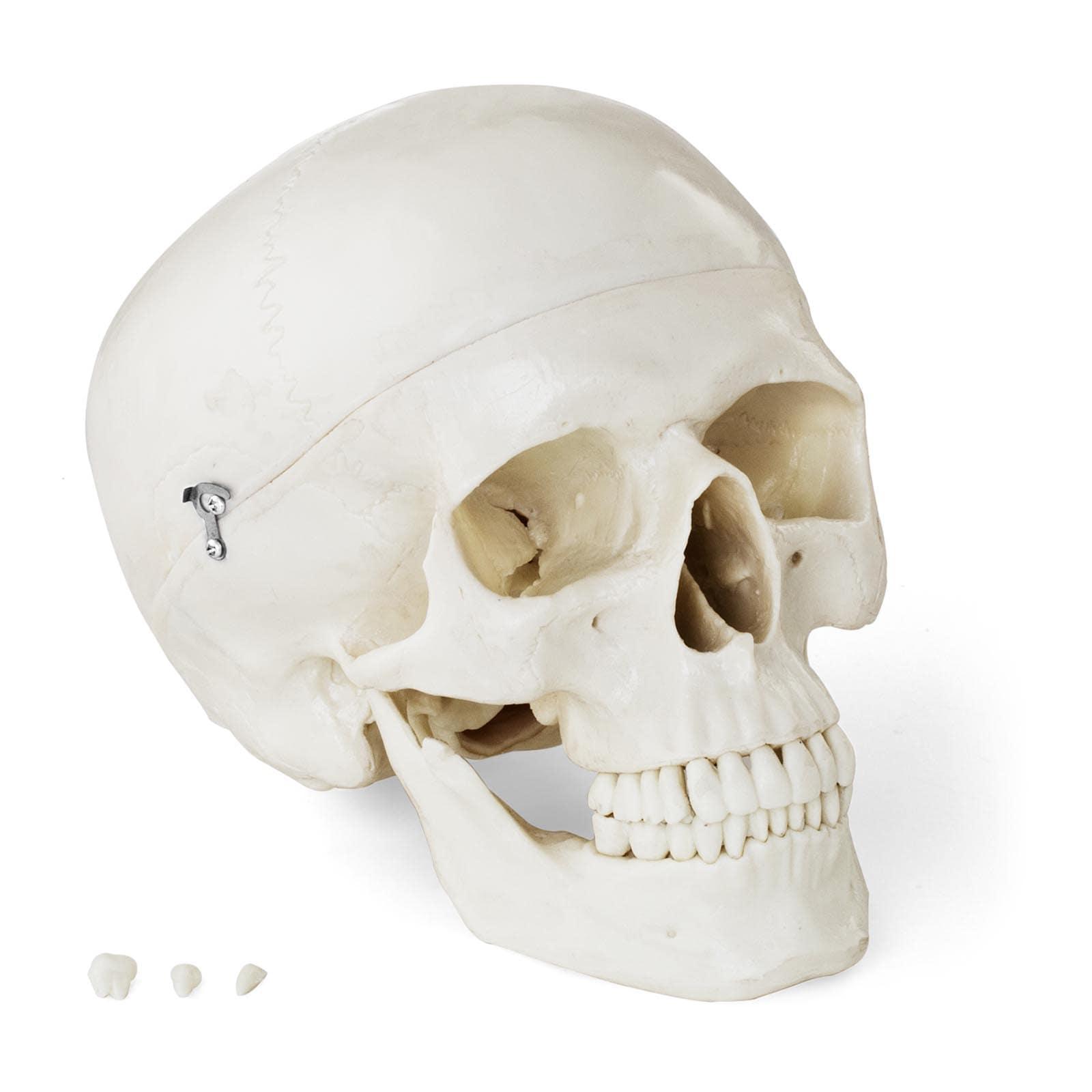 Model czaszki - biały
