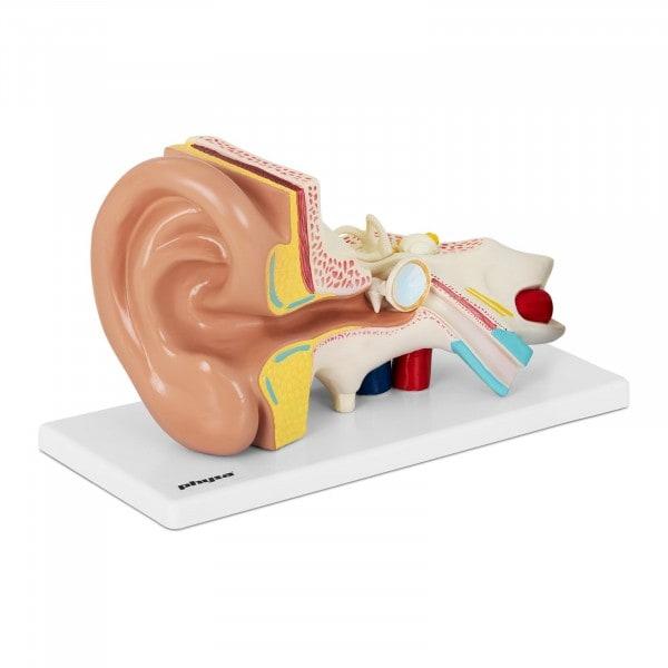 Ucho - model anatomiczny