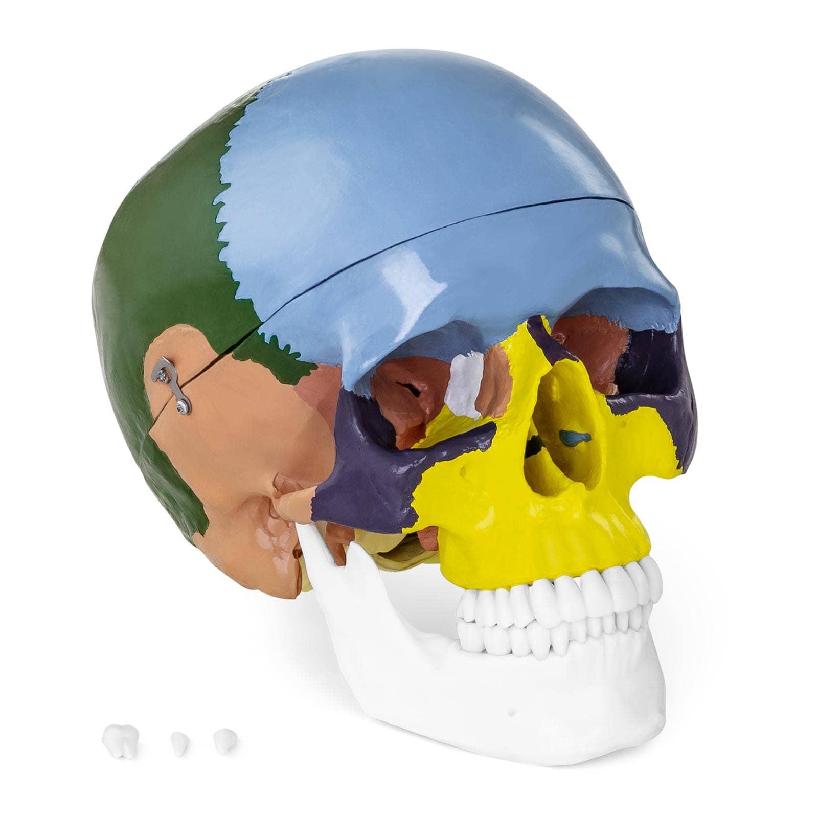 Model czaszki - kolorowy