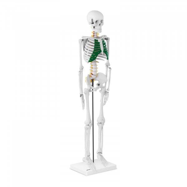 Szkielet człowieka - model anatomiczny - 85 cm