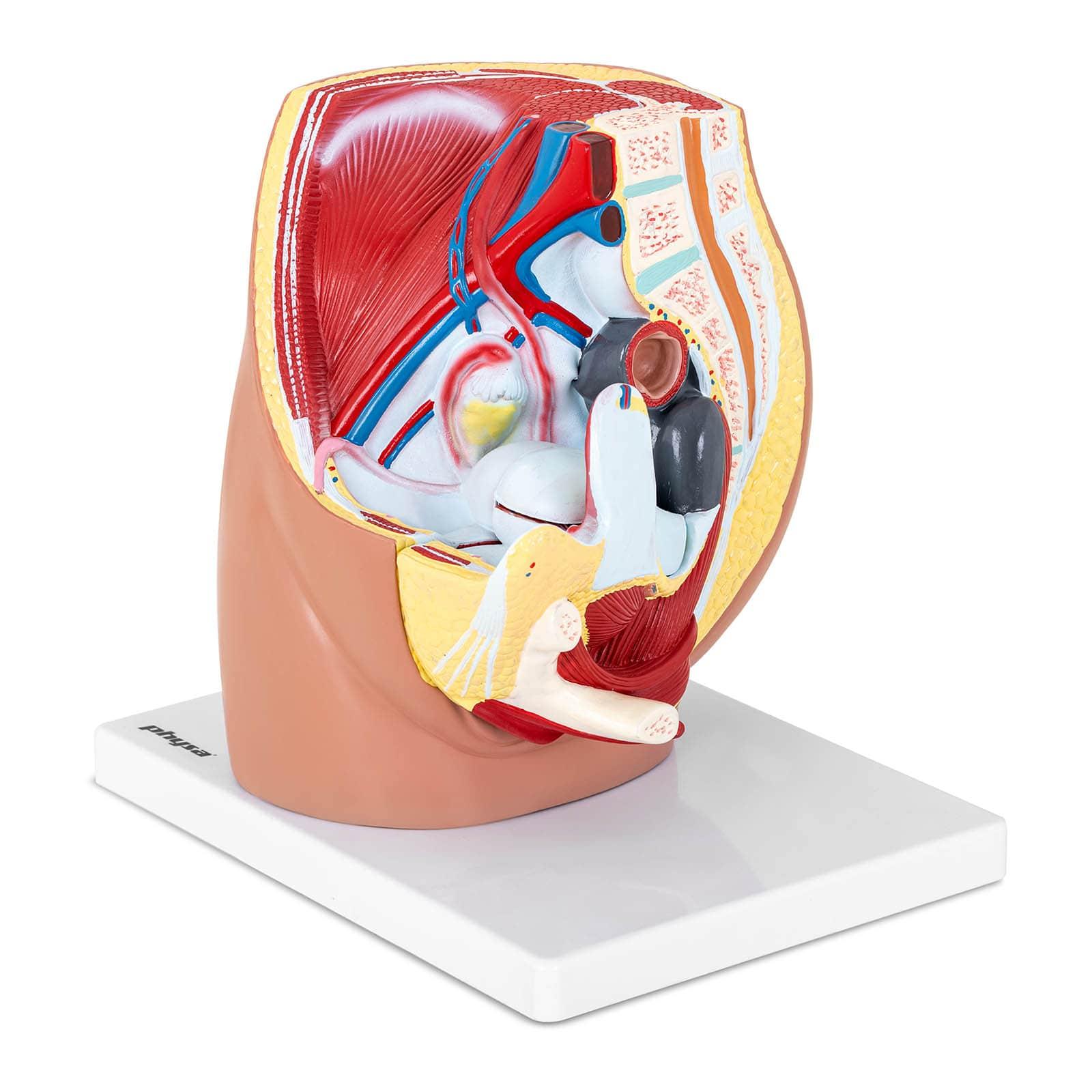 Model anatomiczny - miednica żeńska
