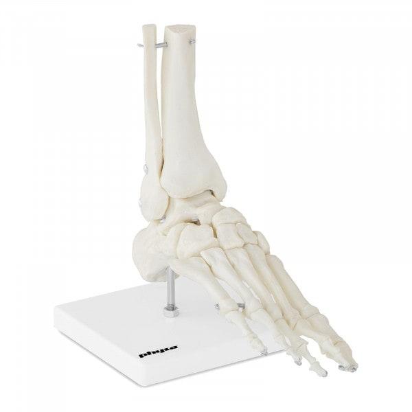 Staw skokowy - model anatomiczny