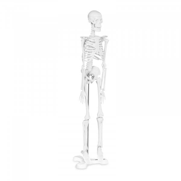 Mini Skelett PHY-SK-6 - Maßstab 1:4