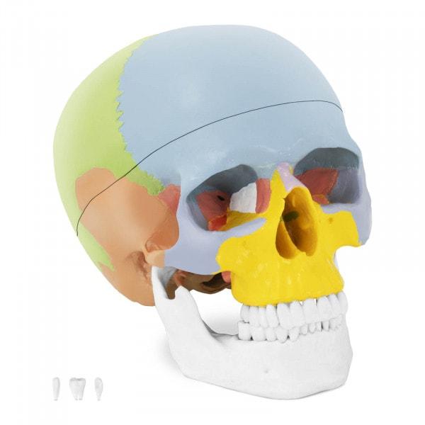 Schädel-Modell - farbig