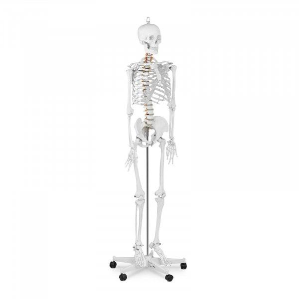 B-zboží Model kostry člověka v životní velikosti - 176 cm